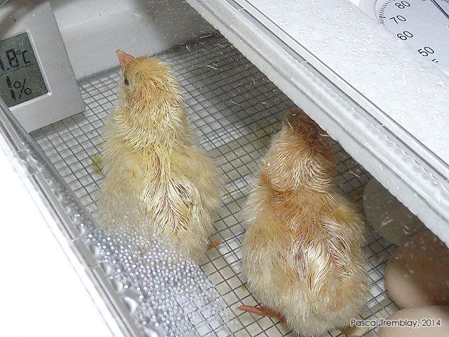 les 13 meilleures images du tableau incubation des oeufs de poules dans une couveuse automatique. Black Bedroom Furniture Sets. Home Design Ideas