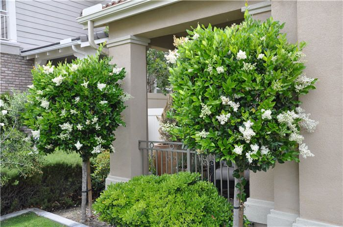Ligustrum japonicum 'Texanum' (Waxleaf Privet) | Topiary