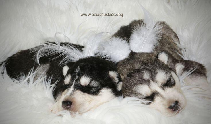 Heavenly Huskies Texasblueyedhuskies Beautiful Babies Newborn