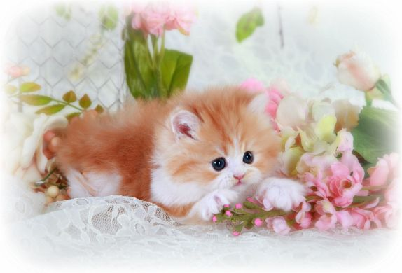 Red & White Bi-Color Teacup Persian Kitten For Sale, Bicolor Persian Kittens THE ONE I NEED
