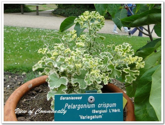 Krøllete blad geranier markeringer [No.220]