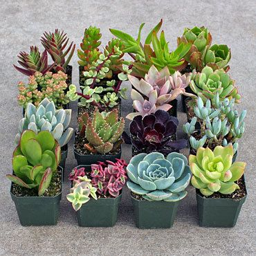 Soft Succulent Sample Collection : 16 of our best tender cultivars (16 plants total). Each is planted in its own 2x2 container. These plants will not tolerate frost. Photo is sample only; varieties wi