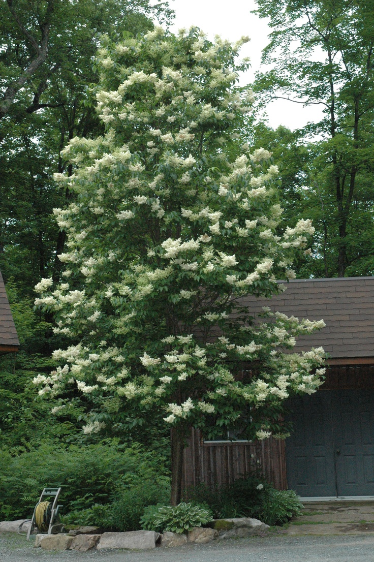 Syringa reticulata 'Ivory Silk' or Tree Lilac    Need to learn more about this one