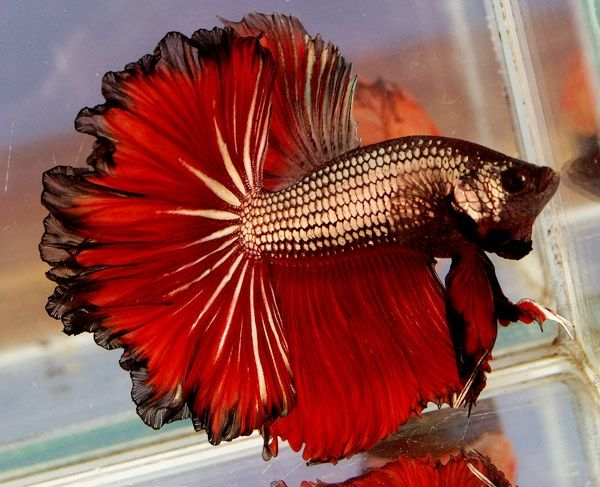 441 best images about betta on pinterest beta fish for Betta fish water temperature