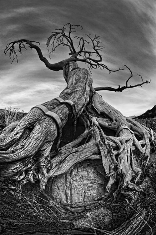 Inspiring mood...the Burmis Tree, in Crowsnest Pass Alberta Canada