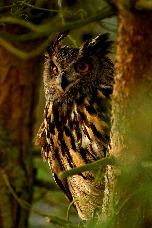 watcher-of-the-skies:    Eagle owl by *Shadow-and-Flame-86