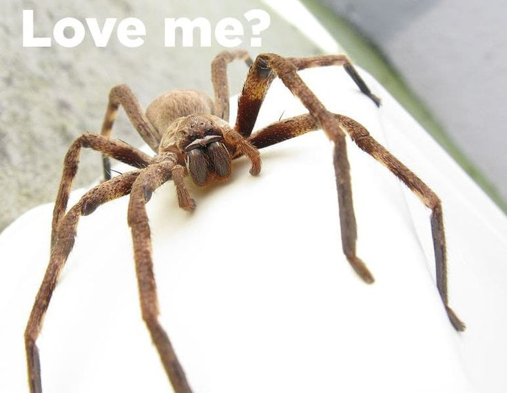 18 Reasons The Huntsman Spider Is Your New Best Friend