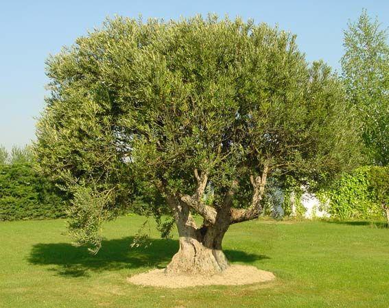 Maravilloso olivo