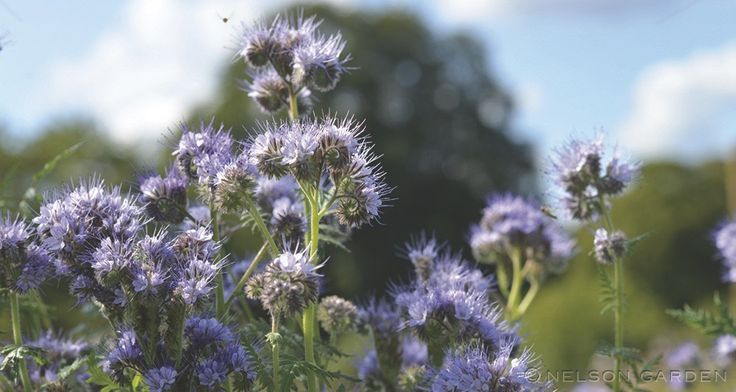 Honungsfacelia. En mycket vacker och blommande ört som konkurrerar ut ogräs. Honungsfacelia är snabbväxande och har en frodig grönmassa. Blommar oerhört rikligt hela sommaren och lockar till sig bin. För att undvika frösådd bör honungsfacelian slås före blomman sätter frö. Sås på vår eller försommar. Kan även sås efter sallat och tidig potatis, i slutet av juli-augusti, för att jorden inte ska ligga bar och näringsämnen urlakas. Grödan brukas ner höst eller tidig vår.