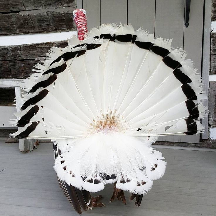 Popeye the turkey showing his pretty feathers. #turkey #feathers #poultry