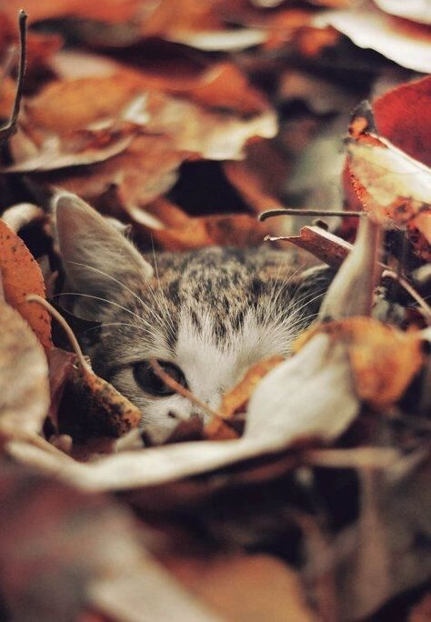 Kitty Hiding In Leaves animals autumn fall animal kitty fall pictures fall images autumn images