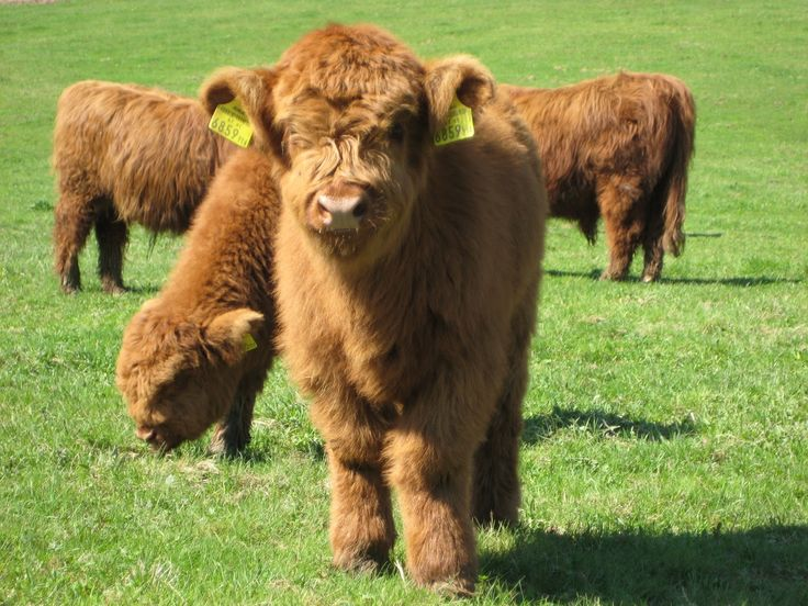 Dang, now I want a furry little cow (Highland breed)