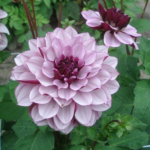29 best un jour, une fleur images on pinterest   flowers, gardens