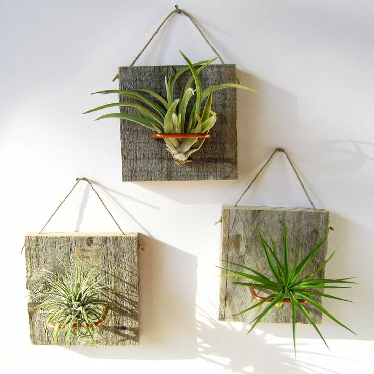 I heart air plants (especially because I've had success keeping them alive!) :: Wall Mounted Air Plants - Set of 3
