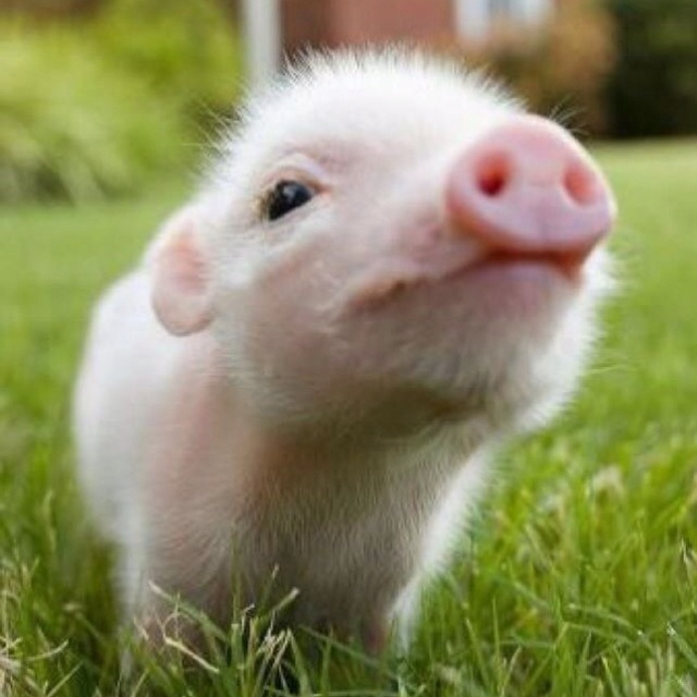 Tea cup pig(: | cute animals | Pinterest | Pets, Little ...