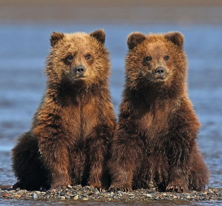 Twins! by © Anthony Goldman Alaskan Brown Bear Cubs watching mom fishing for salmon at Lake Clark National Park, Alaska.