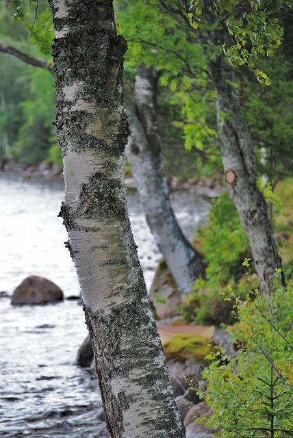 Birch - Betula pubescens   Natural Garden   Pinterest