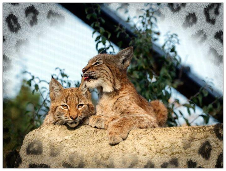 77d3cb5677c0 Les petits lynx parrainé par Wakou ont 3 mois et sont en pleine santé ! On  vous dit tout très bientôt dans le magazine et sur le blog…