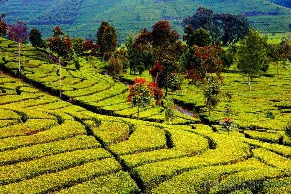Ciwidey # west Java # Indonesia