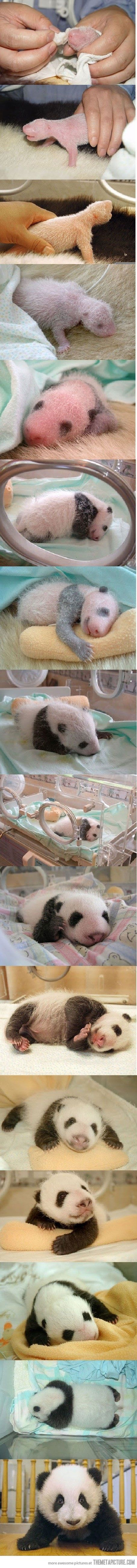 Baby panda facts:  -About the size of a stick of butter at birth  -Born hairless  -Eyes open at 50 to 60 days of age  -Begin to crawl at about 10 weeks  -Nurses til about 18 months