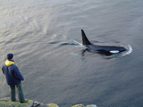 Maybe if I get into Au Sable for the summer, I can be this close to an orca. (But probably not. :C): Natural Habitats, Majestic Orcas, Beautiful Orcas, Orcas Close, Killers Whales Orcas, Orcinus Orcas, Amazing Animal, Orcas Kil Whales, Orcas Killers