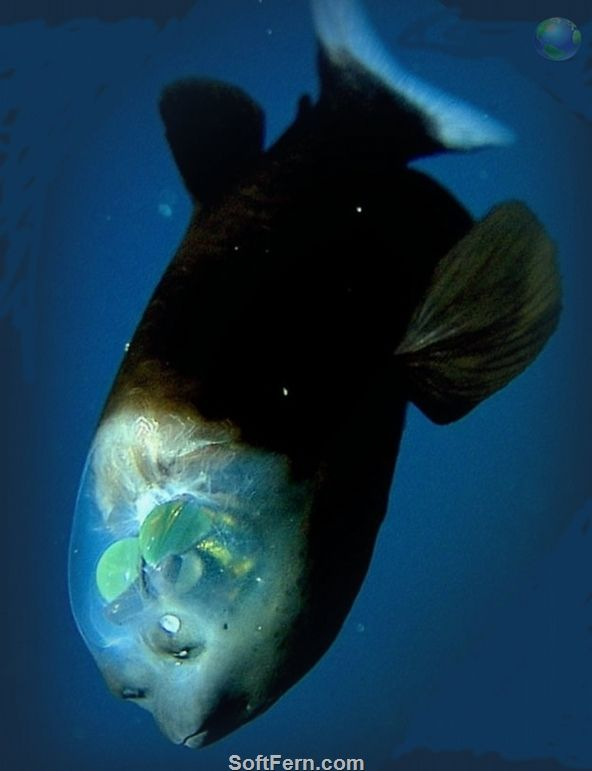 Barrel Eye Fish (acropinna microstoma). It's head is transparent, enabling it to look up and see through the top of it. A deep sea fish which lives in tropical & temperate oceans around the world.#oceanlife