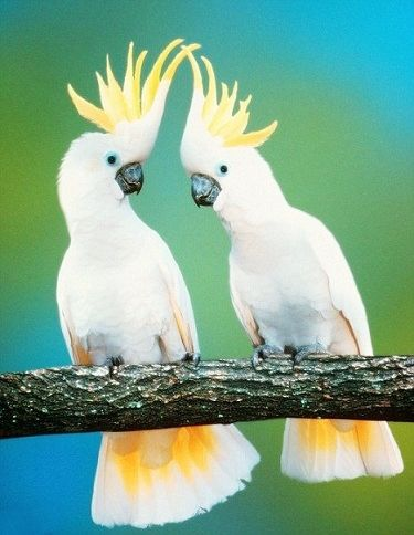 Two cockatoos living in the wild in Australian's Northern Territory