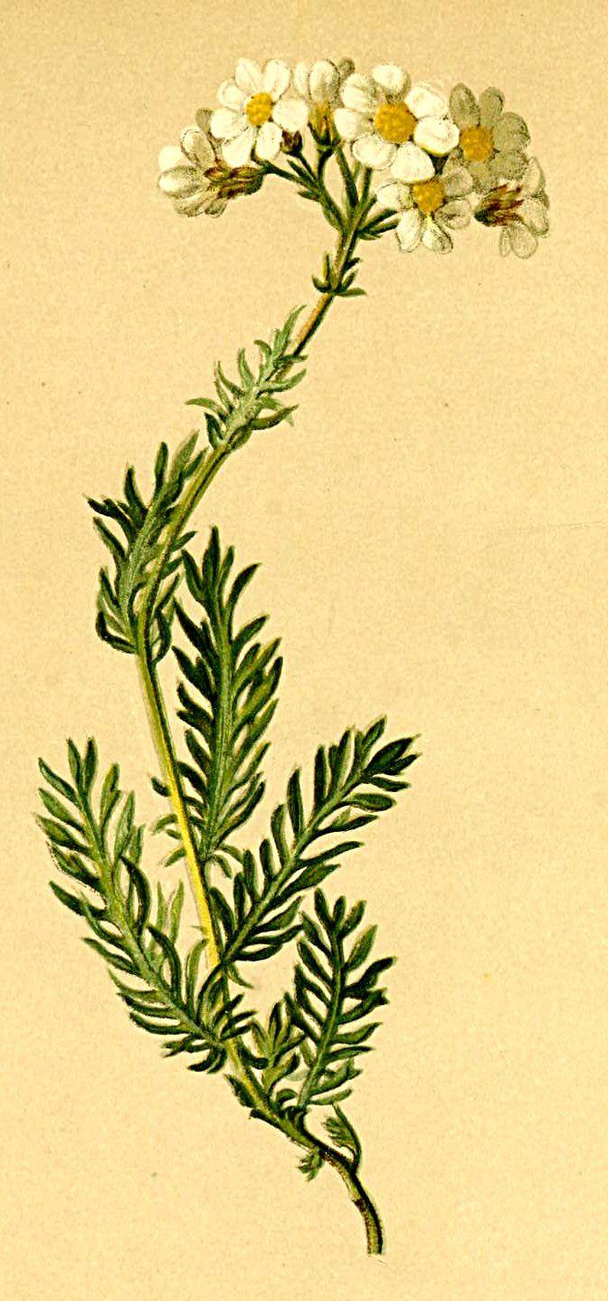 heaveninawildflower:    Achillea moschata (1882) taken from Atlas der Alpenflora. Anton Hartinger. http://www.archive.org/details/atlasderalpenflo00hartvia Wikimedia.