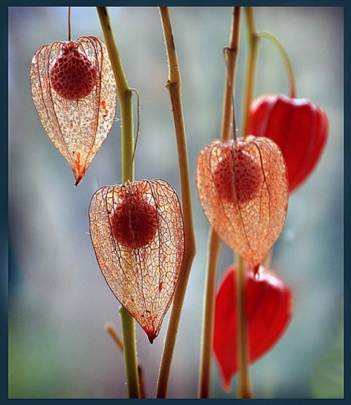 best physalis images on, Beautiful flower