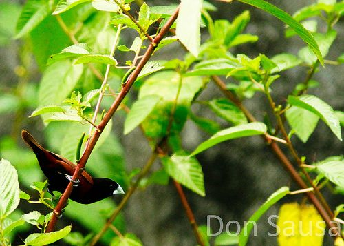 The National Bird of the Philippines: The maya bird -- before 1995 -- was the national b...