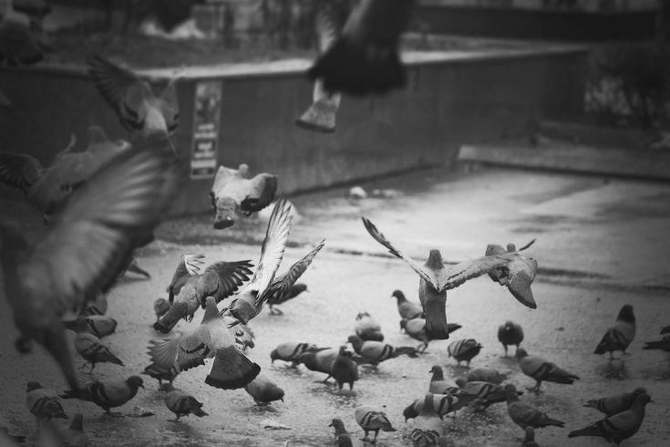 #beautiful #beauty #bird #bird of prey #birds #black #black and white #fly #peace #peaceful #pigeon #pigeons