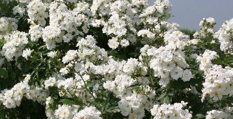 De meest romantische klimplant voor muren en pergola's is de klimroos. Een betrouwbare kleinbloemige witte klimroos is de Rosa 'Climbing Schneewittchen'.