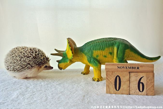 Hedgehog Calendar, (【ハリネズミカレンダー】November 6.|11月6日(金) 今日は『お見合い記念日』から)