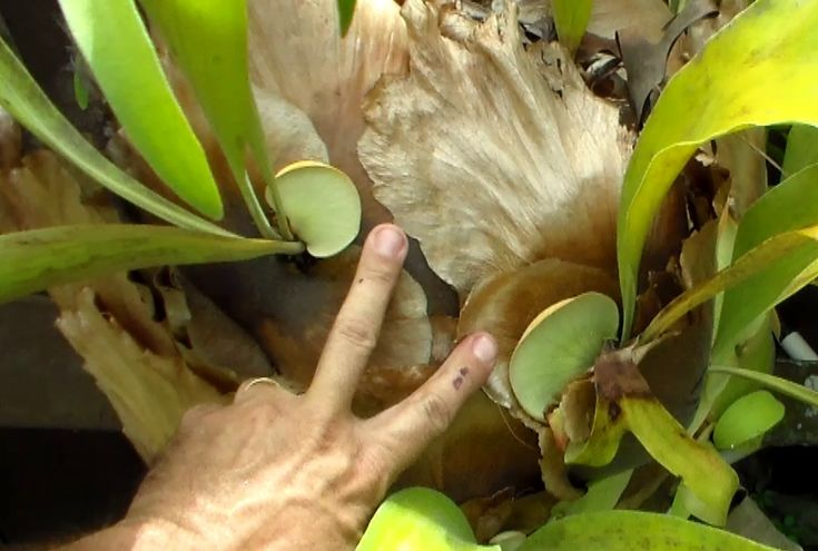One method of propagating staghorn fern is cutting and separating. Staghorn fern propagation is one way to get more staghorn ferns, other than buying more. Staghorn ferns will take off if they are placed in the right location. I have … Continue reading →