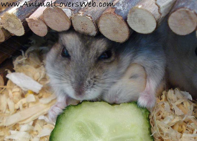 Our Dwarf Hamster, Elly nibbling some cucumber with one of her babies under her arm.    You can find out more about Hamsters on our Animal Web Site and Hamsters Discussion Forums.  You can also see videos of our Hamsters on our AnimalLoversWeb YouTube C http://timemart.com.vn/  http://timemart.com.vn/may-tap-co-bung/  http://timemart.com.vn/bep-hong-ngoai-bep-tu/  http://timemart.com.vn/tranh-theu-chu-thap/