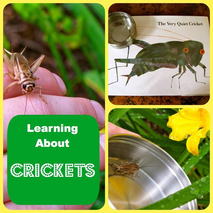 Science activities for The Very Quiet Cricket, by Eric Carle.Canadian Cyber, For Kids, Science Activities, Cyber Intelligence, Insects Study Preschool, Cricket Preschool Ideas, Quiet Cricket, Book Clubs, Preschool Bugs