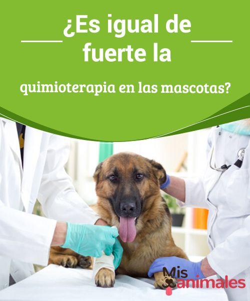 ¿Es igual de fuerte la #quimioterapia en las mascotas?  Si #pensamos en la quimioterapia, nos vienen a la cabeza imágenes terribles. Aparecen nítidos sus #efectos secundarios que no deseamos, y que nos #producen miedo.