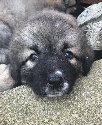 illinois caucasian dog female puppy
