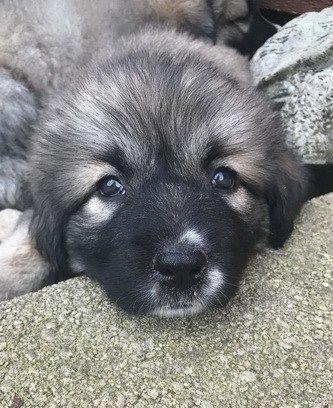 illinois caucasian dog female puppy
