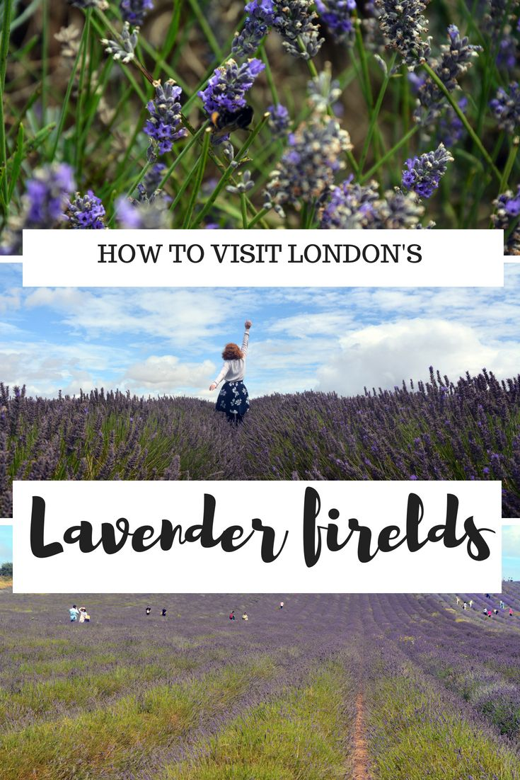 How To Visit Hitchin Lavender Farm London By Train We Travel We Blog Pinterest Travel