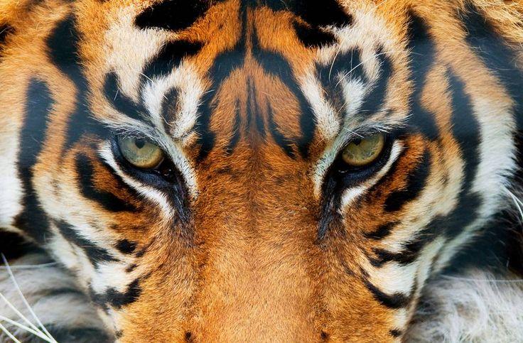 Fotobehang - Tiger - Poster XXL - 175 x 115 cm - Multi