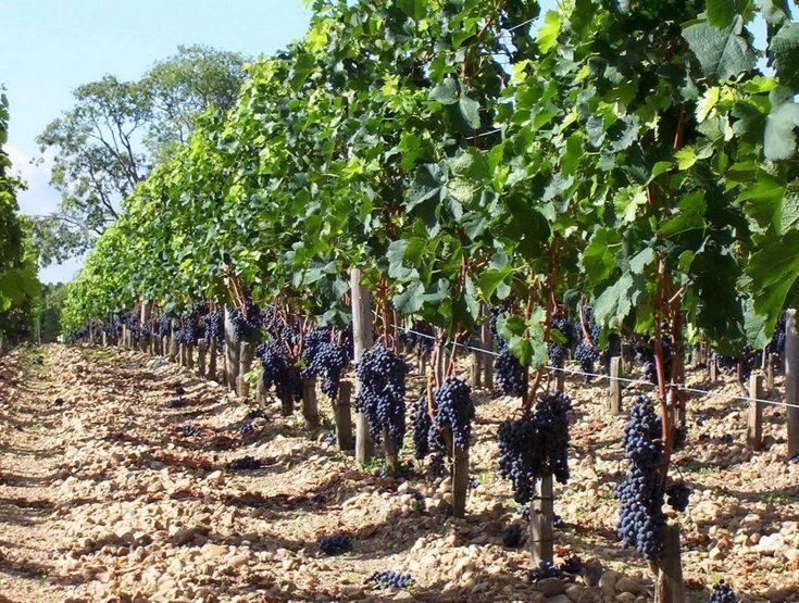 Одно- и простые двухплоскостные шпалеры для винограда изготавливаются почти одинаково