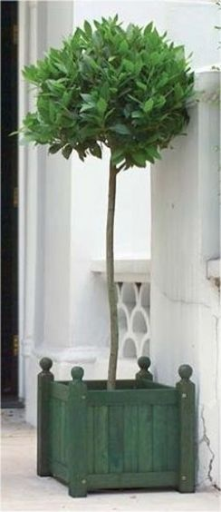 A Pair of Full Standard Bay Trees (Laurus nobilis) for front door entrance