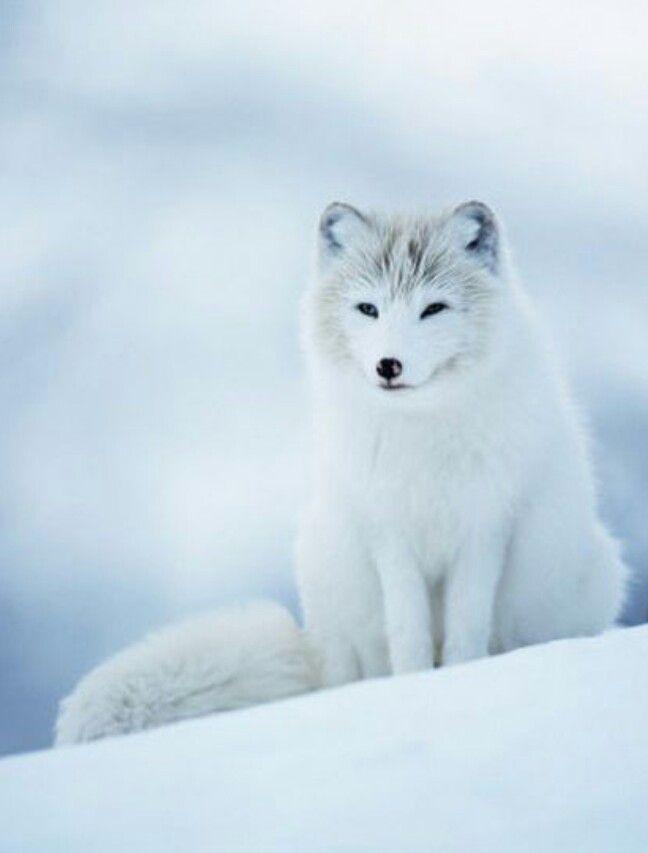 Zorro ártico (Artic fox) - Alopex lagopus. El zorro polar ...