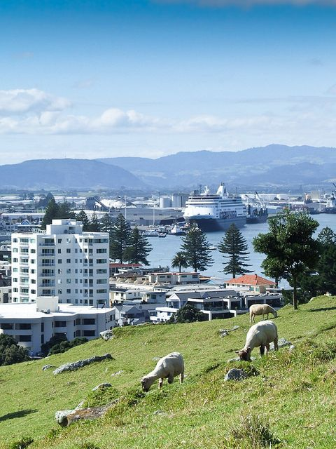 Sheep feeding on Mount Maunganui, with views of The Port of Tauranga, New Zealand
