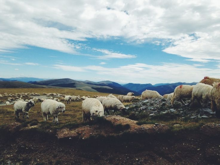 Sheep. Transalpina, Romania
