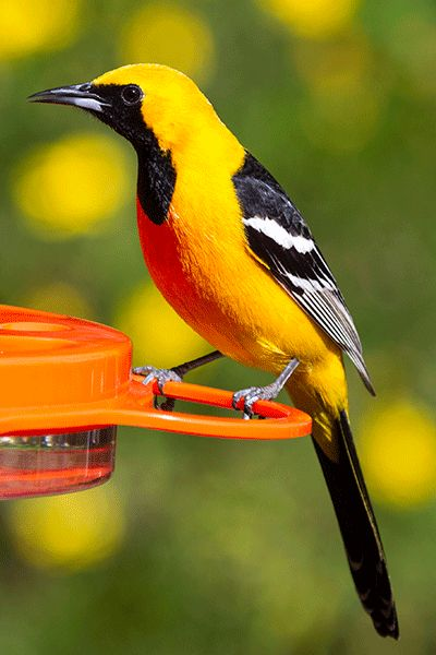 Hooded Oriole full body showing tail