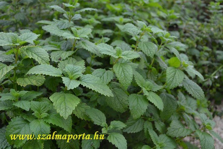 Citromfű #gyógynövény