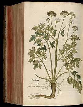 184851 Levisticum officinale W.D.J. Koch [as Ligusticum levisticum L.]  / Fuchs, L., New Kreüterbuch, t. 436 (1543)