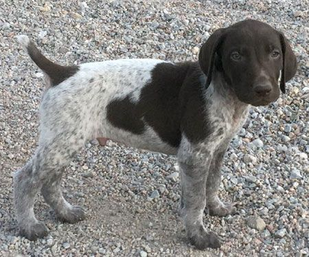 German Shorthaired Pointer Puppy for Sale #germanshorthairedpointerpuppy